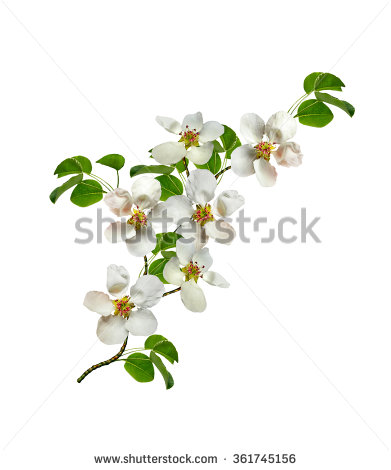 stock-photo-white-pear-flowers-branch-isolated-on-white-background-361745156